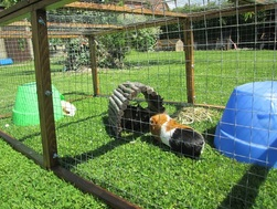 guinea pig small animal boarding service picture in run in large garden