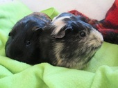 guinea pig holiday boarding care and grooming