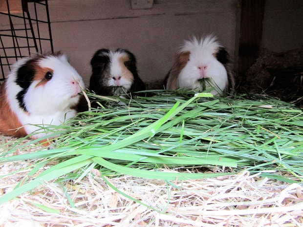 Picture of guinea pig pet holiday boarding
