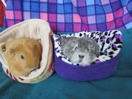 Picture guinea pigs holiday boarding