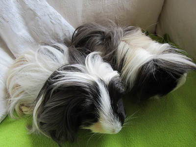 Picture guinea pig bathing and grooming