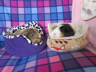 Picture of small animal pet guinea pig boarding and grooming