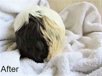 Guinea pig grooming and boarding service Picture