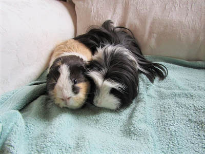 guinea pig grooming and bathing before and after Picture