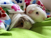 guinea pig boarding and grooming hotel Picture