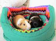 guinea pig small animal holiday boarding Picture