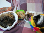guinea pig boarding holiday hotel