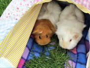 guinea pig holiday boarding and grooming small pet hotel