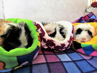 Small animal guinea pig small pet grooming and boarding services Picture