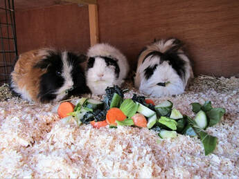 guinea pig grooming and boarding service grooming parlour expert care spa salon trimming matted fur holiday boarding guinea pigs grooming long haired guinea pigs small pet hotel guinea pig small animal pet boarding andover