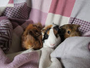Guinea pig boarding and grooming Andover Hampshire Picture