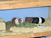 guinea pig boarding Picture