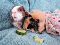 Picture Small pet boarding guinea pigs