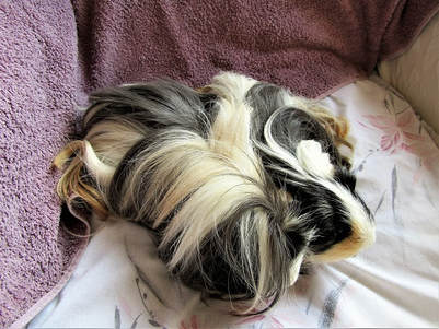 guinea pig bathing and grooming Picture