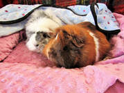 Picture small pet guinea pig boarding and grooming holiday hotel care