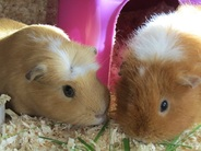 Picture of small pet boarding services guinea pigs